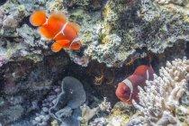 Paire d'anemonefish de spinecheek — Photo de stock