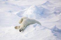 Ours polaire adulte — Photo de stock