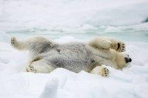 Oso polar adultos - foto de stock