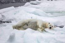 Взрослый Полярный медведь — стоковое фото