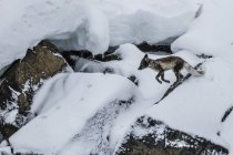 Raposa do Ártico no gelo — Fotografia de Stock