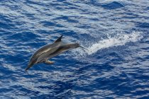 Adult striped dolphin — Stock Photo