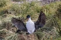 Imperial shag landing at nest site — Stock Photo