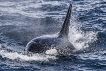 Adult bull Type A killer whale — Stock Photo