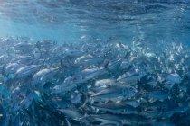Large school of bigeye trevally in deep water — Stock Photo
