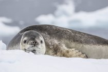 Adult leopard seal on ice — Stock Photo