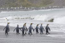 Adult king penguins — Stock Photo