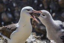 Albatros à sourcils noirs adultes alimentation poussin — Photo de stock