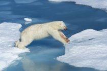 Polar bear jumping on ice — Stock Photo