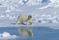 Ours polaire sur la glace — Photo de stock