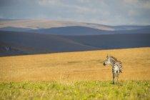 Ebenen Zebra, Equus quagga — Stockfoto