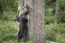 Wild Brown Bear — Stock Photo