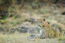 Léopard Panthera Pardus — Photo de stock