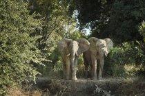 Дикі африканські слони — стокове фото