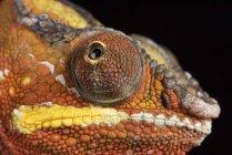 Vue de caméléon panthère — Photo de stock