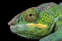 View of Panther Chameleon — Stock Photo