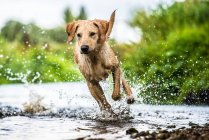 Labrador running in water — Stock Photo