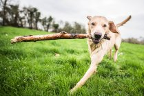 Golden Labrador mit stick — Stockfoto