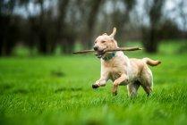 Labrador Golden porteur bâton — Photo de stock
