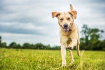 Cachorro de labrador dourado — Fotografia de Stock