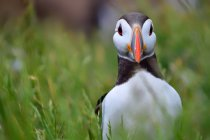 View of Atlantic puffin — Stock Photo