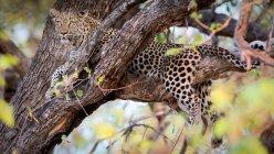 Вид Леопард на ветке дерева — стоковое фото