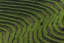 Plantations de thé puer. — Photo de stock
