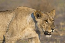Lioness walking in wildlife — Stock Photo