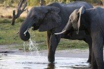 Dois elefantes africanos — Fotografia de Stock