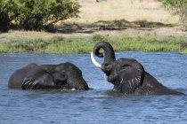 Dos elefantes africanos - foto de stock