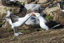 Albatros à sourcils noirs — Photo de stock