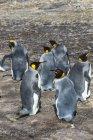 Король колонії пінгвінів — стокове фото