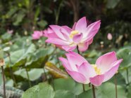 View of Pink lotus — Stock Photo