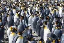 Гігантські король пінгвіни — стокове фото