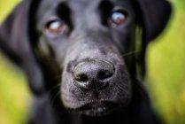 Labrador nose, United Kingdom — Stock Photo
