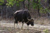 Индийские бизоны, bos gaurus Бандавгари — стоковое фото