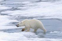 Female Polar bear — Stock Photo