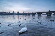 White swans on the Vltava River — Stock Photo