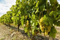 White grapes on vines — Stock Photo