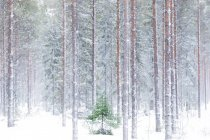 Tall trees in the snowy woods — Stock Photo