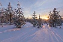 Арктический закат освещают заснеженном лесу — стоковое фото