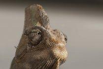 Veiled chameleon, Yemen chameleon — Stock Photo