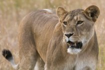 Leona, Panthera leo - foto de stock