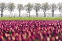 Bunte Felder der Tulpen — Stockfoto