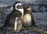 African penguins, jackass penguins — Stock Photo