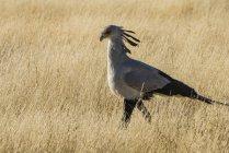 Oiseau secrétaire, Sagittarius serpentarius — Photo de stock