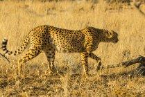 Южной Африки гепард — стоковое фото