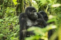 Mountain Gorillas, Beringei beringei — стоковое фото