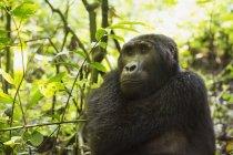 Mountain Gorilla, Beringei beringei — стоковое фото