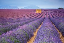 House in lavender field at sunset — Stock Photo